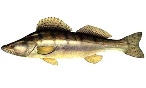 Разведение рыбы - Судак