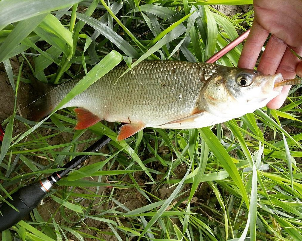рыба голавль как и чем ловить